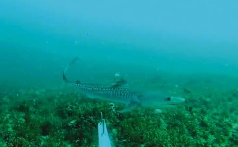 03-11-15-requin-tigre-juvenile