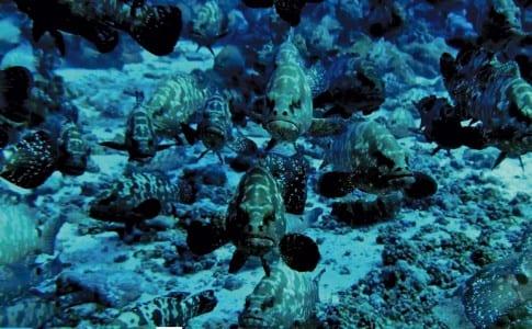 24-11-15-mérous-polynésiens