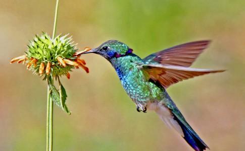 Colibri-qui-fait-sa-part
