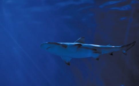 02-06-17-requin