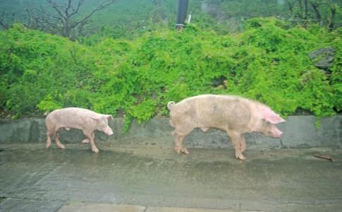 12-10-17-Les-cochons-dans-la-nature,-un-problème-de-sécurité-publique