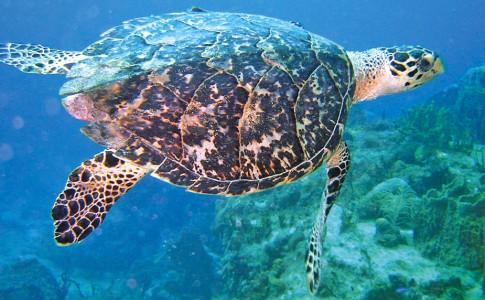 05-12-17-tortue-marine-plongee-deshaies1