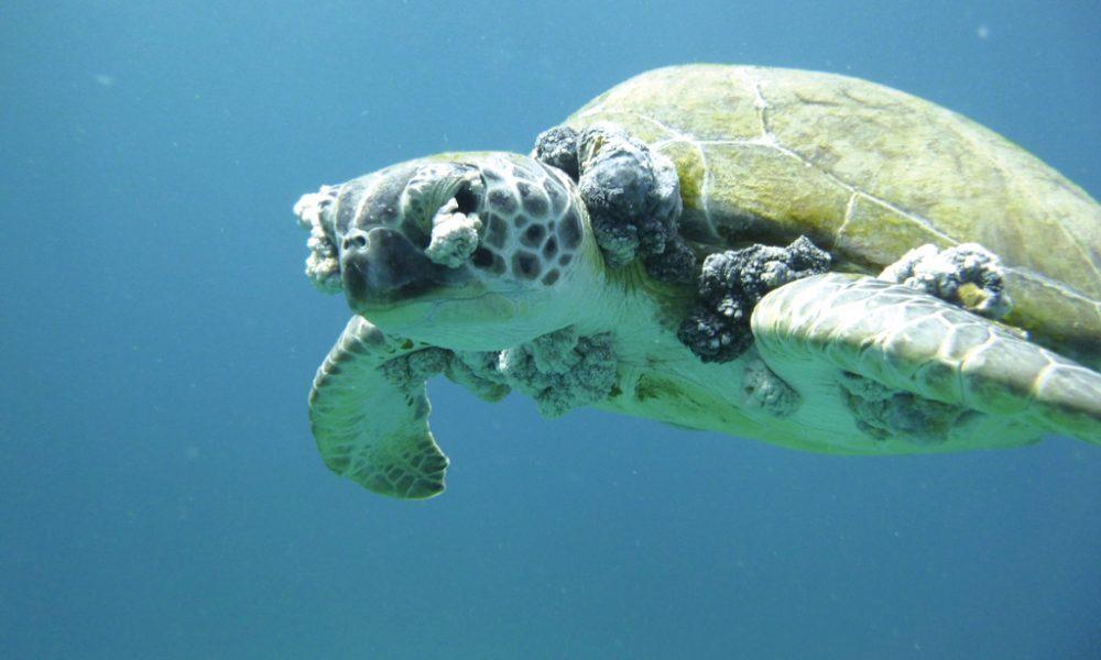 Ambiente: crescente numero di tartarughe con fibropapillomatosi - Faxinfo